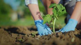 Um fazendeiro da mulher põe plântulas de um tomate na terra Com cuidado forçando o solo em torno do broto imagem de stock