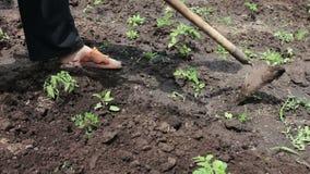 Um fazendeiro da mulher remove ervas daninhas do jardim, limpa ervas daninhas em torno das plantas verdes novas filme