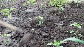 Um fazendeiro da mulher remove ervas daninhas do jardim, limpa ervas daninhas em torno das plantas verdes novas, pessoa que desba filme