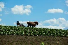 Um fazendeiro de Amish com os cavalos no campo de cigarro fotografia de stock royalty free
