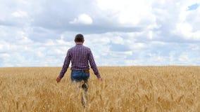 Um fazendeiro do homem está em um campo de trigo, tocando nas orelhas maduras do trigo Paisagem rural bonita com nuvens agricultu video estoque
