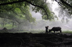 Um fazendeiro e gado Foto de Stock Royalty Free