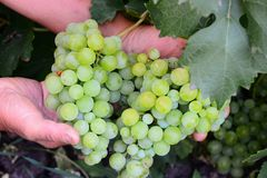 Um fazendeiro está guardando um grupo de uvas em suas mãos Um fazendeiro está mostrando uvas Foto de jardinagem da casa de colhei imagens de stock royalty free