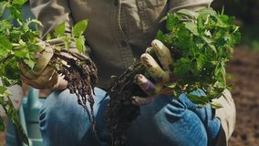 Um fazendeiro examina plântulas do tomate antes de plantar na terra filme