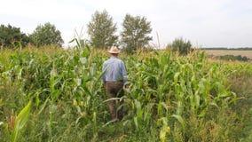 Um fazendeiro idoso anda em um campo do milho para verificar sua condição video estoque