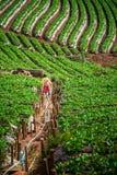 Um fazendeiro na plantação da morango em Doi Ang Khang fotografia de stock royalty free
