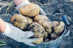 Um fazendeiro nas luvas guarda tub?rculos da batata no jardim imagens de stock