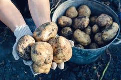 Um fazendeiro nas luvas guarda tub?rculos da batata no jardim imagens de stock royalty free