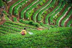 Um fazendeiro que molha uma morango na plantação da morango imagens de stock