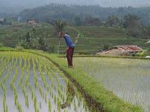 Um fazendeiro verifica o sistema de irrigação em um campo do arroz de modo que haja sempre a mesma altura da água foto de stock royalty free