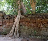 Um ficus enorme cresce na parede de pedra velha A árvore destrói a parede de pedra antiga com suas raizes imagem de stock royalty free