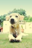 Um filhote de cachorro branco e dourado Foto de Stock Royalty Free