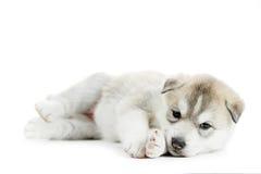 Um filhote de cachorro do cão de puxar trenós Siberian foto de stock royalty free