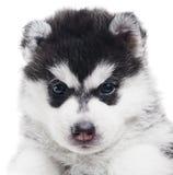 Um filhote de cachorro do cão de puxar trenós Siberian isolado Imagem de Stock Royalty Free