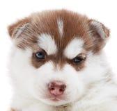 Um filhote de cachorro do cão de puxar trenós Siberian isolado Imagens de Stock Royalty Free