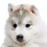 Um filhote de cachorro do cão de puxar trenós Siberian isolado Fotos de Stock