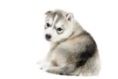 Um filhote de cachorro do cão de puxar trenós Siberian isolado Imagens de Stock