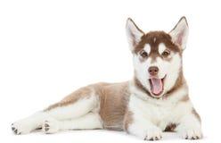 Um filhote de cachorro do cão de puxar trenós Siberian isolado Fotos de Stock Royalty Free