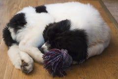 Um filhote de cachorro fêmea novo cansado de Landseer ECT Foto de Stock Royalty Free