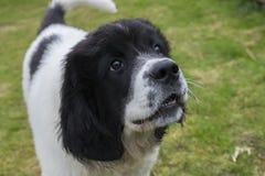 Um filhote de cachorro fêmea novo curioso de Landseer ECT Imagem de Stock Royalty Free