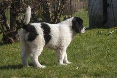 Um filhote de cachorro fêmea novo curioso de Landseer ECT Fotos de Stock Royalty Free