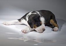 Um filhote de cachorro finlandês velho do Hound de 3 semanas no backgro branco Foto de Stock Royalty Free