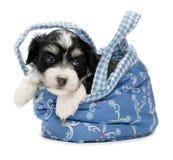 Um filhote de cachorro havanese bonito Fotografia de Stock