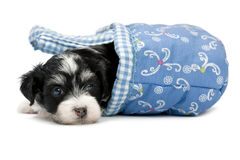 Um filhote de cachorro havanese bonito Fotografia de Stock Royalty Free