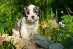 Um filhote de cachorro havanese bonito em um jardim Fotos de Stock