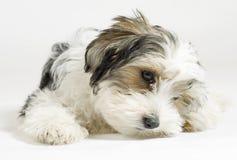 Cão misturado de cabelos compridos pequeno, 16 semanas, malteses e yorkshire terrier Imagem de Stock Royalty Free