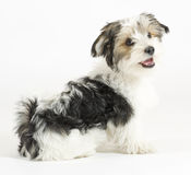 Cão misturado de cabelos compridos pequeno, 16 semanas, malteses e yorkshire terrier Fotografia de Stock