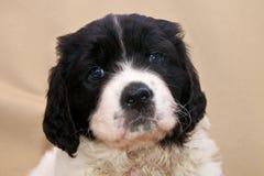 Um filhote de cachorro muito novo de Landseer ECT Imagens de Stock Royalty Free