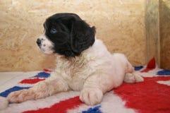 Um filhote de cachorro muito novo de Landseer ECT Fotos de Stock