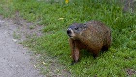 Um filhote de cachorro novo do groundhog Imagens de Stock Royalty Free