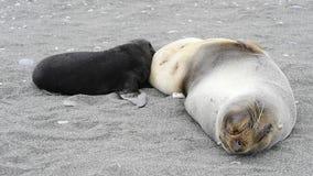 Um filhote de cachorro novo do lobo-marinho com mum video estoque