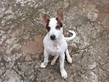 Um filhote de cachorro pequeno bonito Imagem de Stock Royalty Free