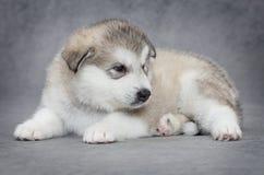 Um filhote de cachorro velho do malamute do Alasca do mês fotografia de stock