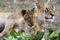 Um filhote de leão lambe seus bordos Foto de Stock