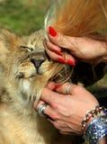 Um filhote de leão morde um cabelo dos turistas Fotografia de Stock