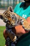 Um filhote de tigre pequeno está sentando-se nas mãos de um homem e olha os visitantes foto de stock royalty free