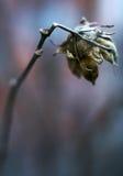 Flor secada Foto de Stock