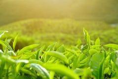 Um fim acima da ideia da paisagem da plantação de chá de Cameron Highlands Pahang Malaysia foto de stock royalty free