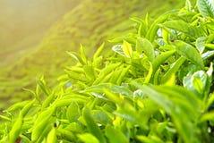 Um fim acima da ideia da paisagem da plantação de chá de Cameron Highlands Pahang Malaysia imagens de stock