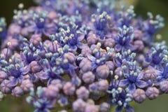 Um fim acima da imagem das flores violetas de um grupo fotos de stock royalty free