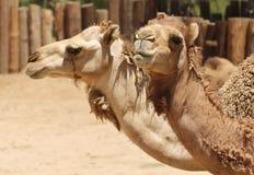 Um fim acima das cabeças de dois camelos do Dromedary foto de stock royalty free