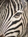 Um fim acima de um burchelli do equus fotos de stock royalty free