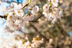 Um fim acima de Cherry Blossoms de florescência na primavera Fotos de Stock