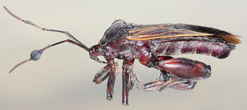 Um fim acima de um assassino Bug Fotos de Stock Royalty Free