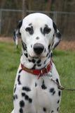 Retrato Dalmatian do cão Imagem de Stock