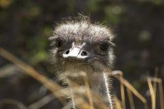 Um fim acima de uma avestruz que olha na câmera imagem de stock